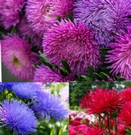 Aster Tall Peony 100 Seeds, Mixed Colours, Huge blooms